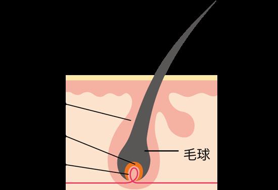 毛包が毛乳頭と毛母細胞を取り囲んでいる様子
