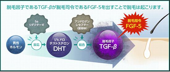 TGF-βがFGF-5に作用し抜け毛や脱毛でヘアサイクルを乱す