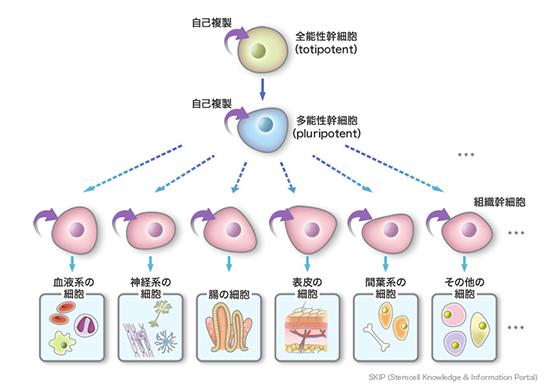 組織幹細胞の自己複製能で、血液や神経、皮膚や間葉系の細胞が再生する