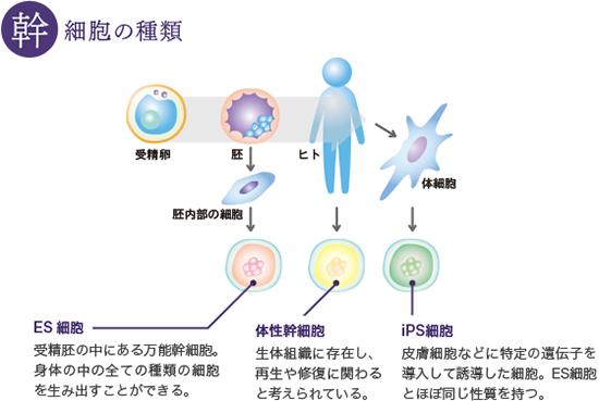 幹細胞の種類、体性幹細胞(組織幹細胞)とES細胞・iPS細胞