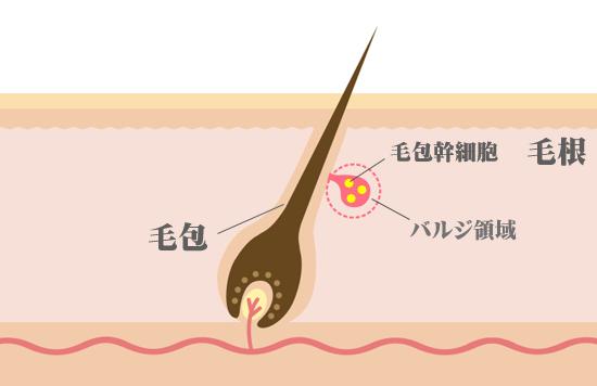 毛根の毛包内では、バルジ領域内に毛包幹細胞が増殖している。