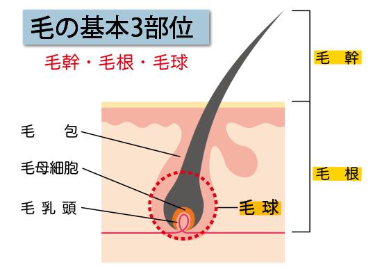 毛幹と毛根、毛球は毛乳頭と毛母細胞から合成