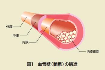 血管壁と血管内皮構造